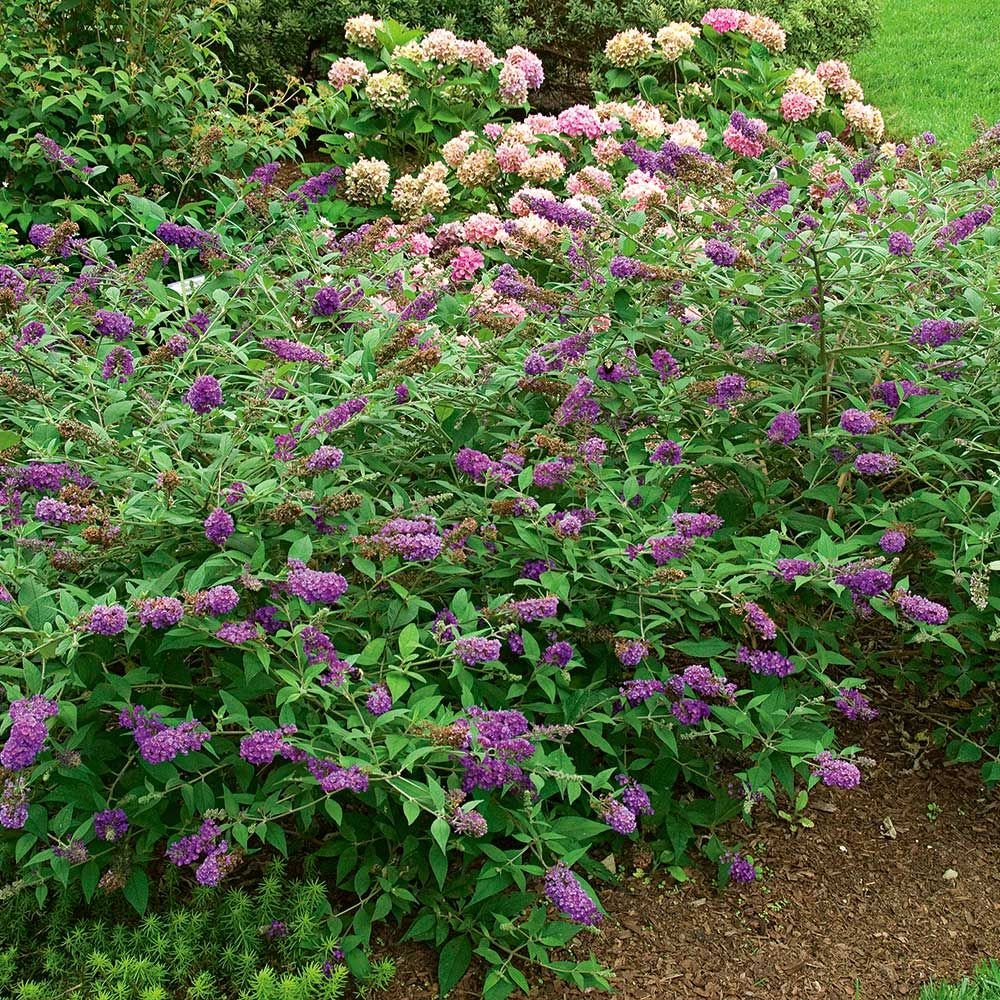 Buddleia Lo & Behold® 'Blue Chip Jr.'