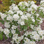 Philadelphus Snow White Sensation®