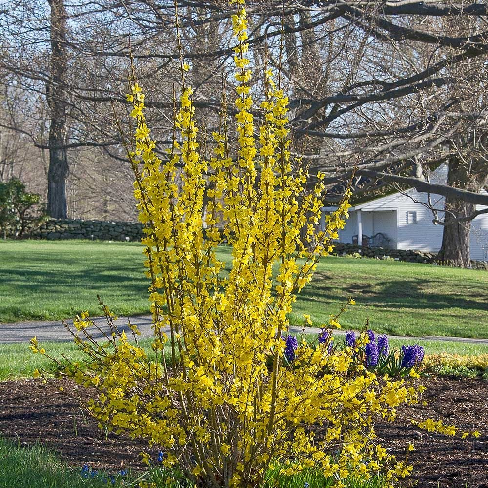 Forsythia x intermedia Show Off®