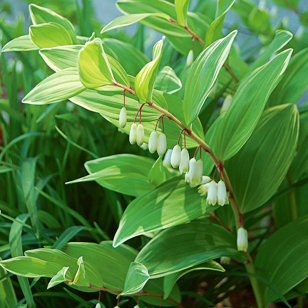 Polygonatum odoratum Variegatum | White Flower Farm
