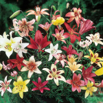 Extended Season Lily Mixture