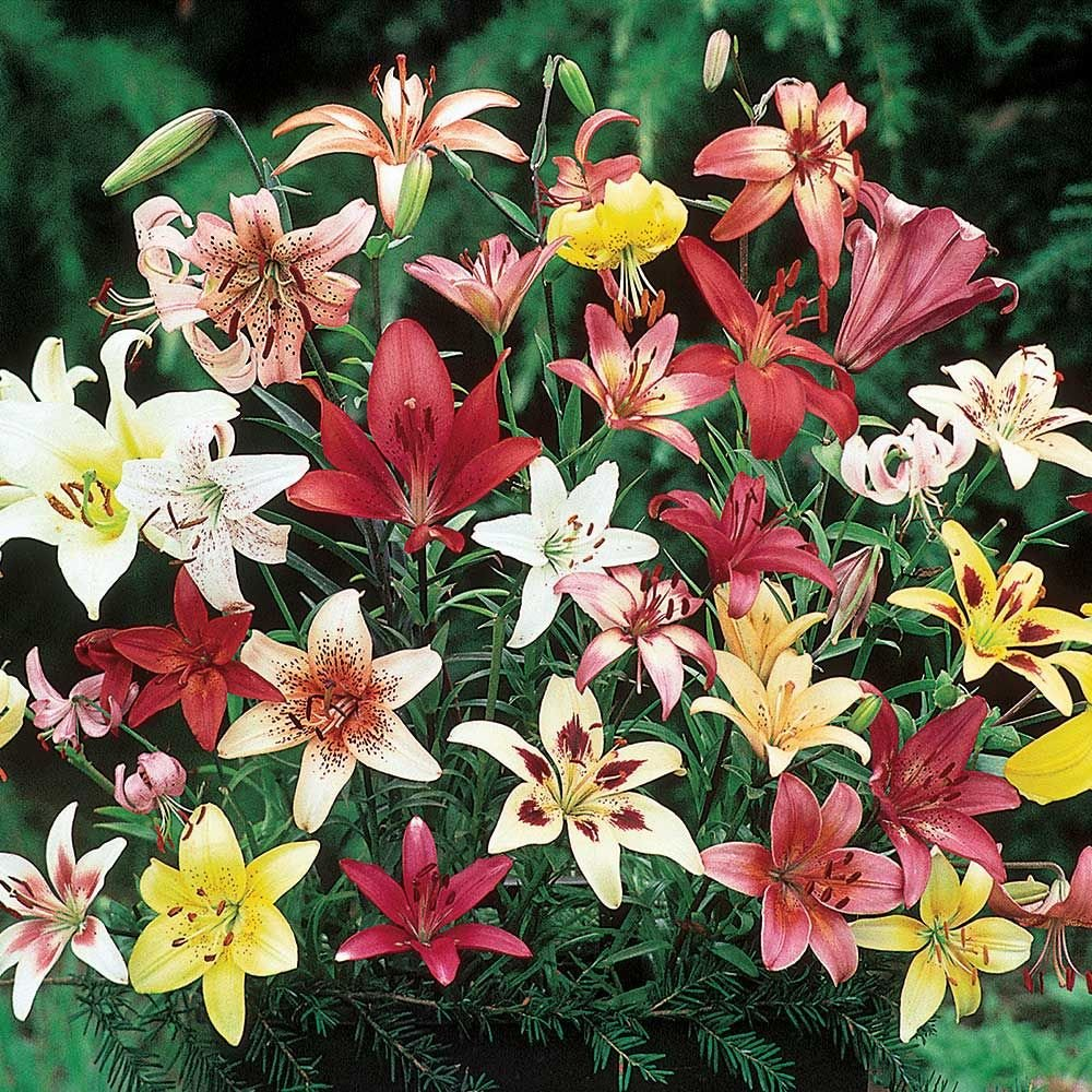 Extended Season Lily Mix