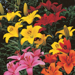 Lilium True Colors Mix for Naturalizing