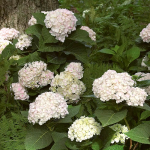 Hydrangea macrophylla Endless Summer® Blushing Bride®