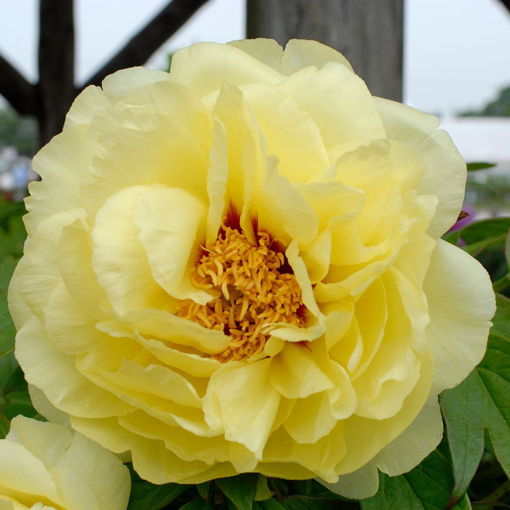 Paeonia suffruticosa 'High Noon' - Tree Peony
