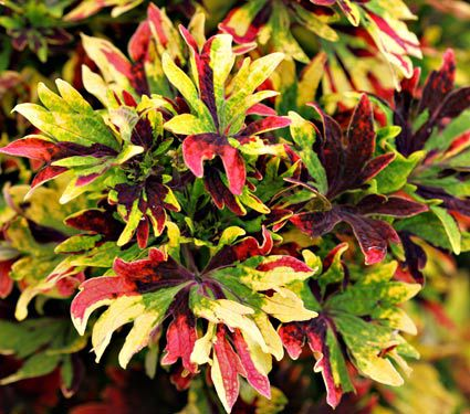 Coleus Twist and Twirl®