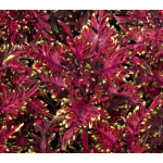 Coleus Under the Sea® Bone Fish