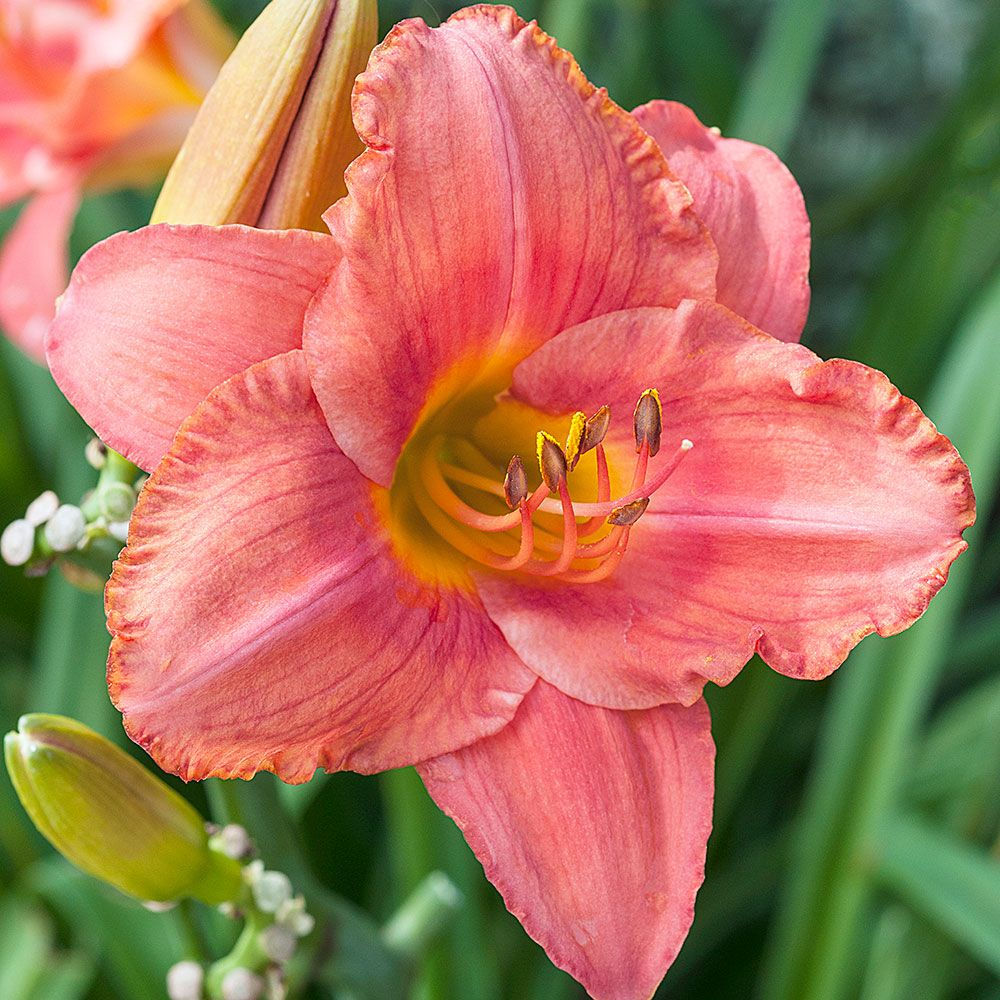 Hemerocallis (Daylily) 'South Seas' - Reblooming