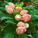 Begonia 'John Smith' Blackmore & Langdon