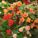 Blackmore and Langdon Seedling Collection of Begonias