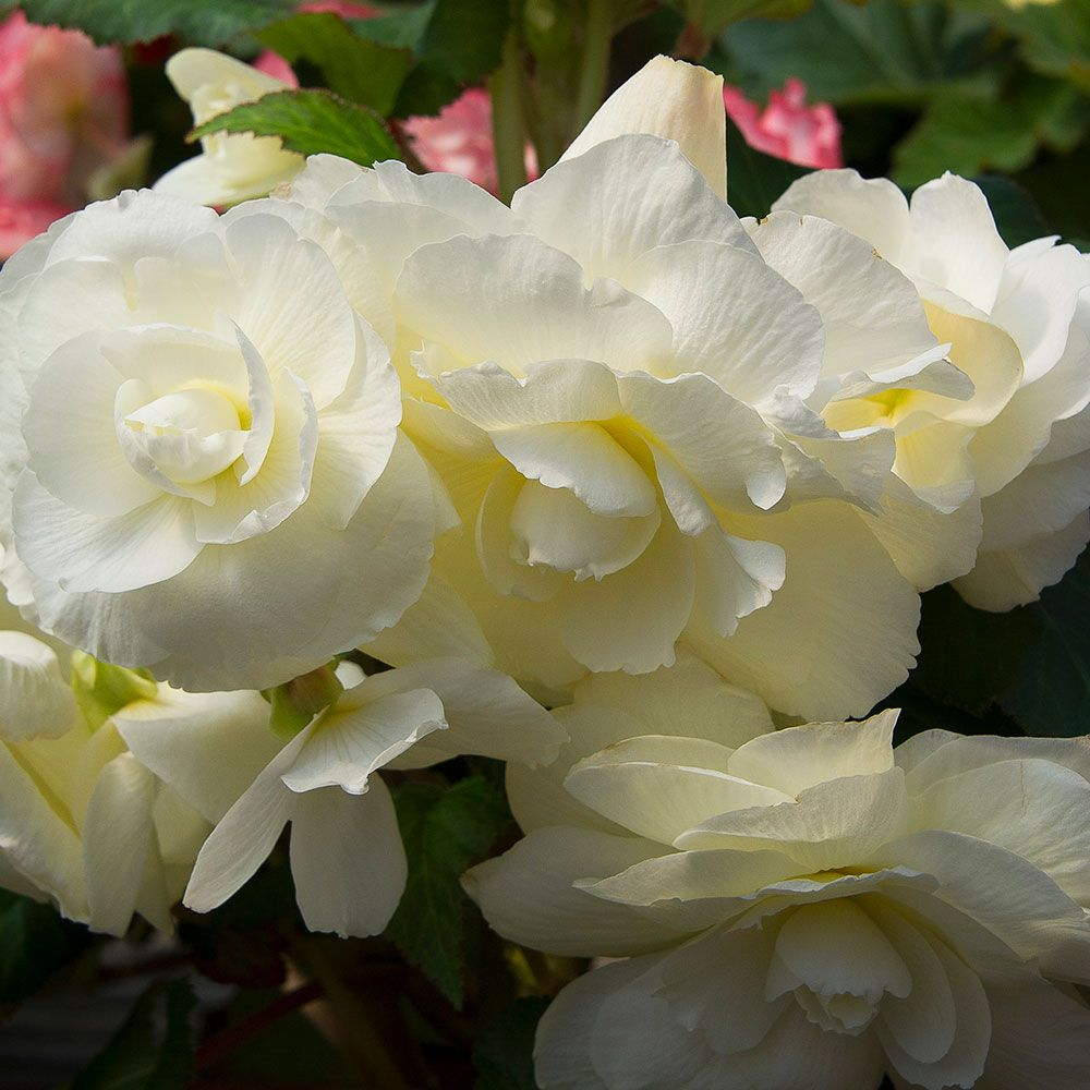Begonia 'Snowgoose' Blackmore & Langdon