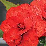 Begonia 'Moulin Rouge' Blackmore & Langdon