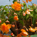 Begonia 'Orange Cascade' Blackmore & Langdon Trailing Variety