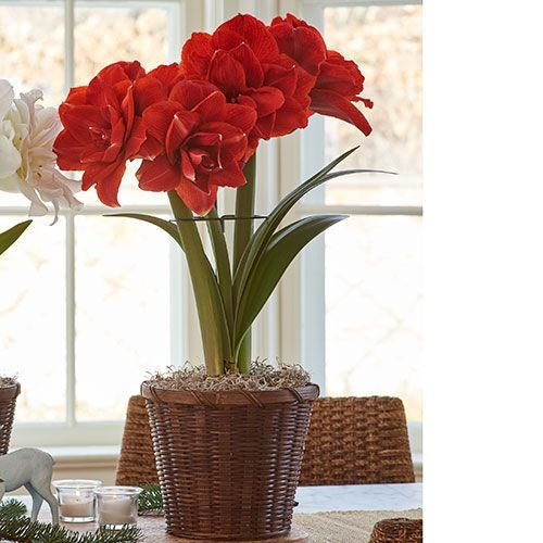 All Amaryllis By Variety White Flower Farm