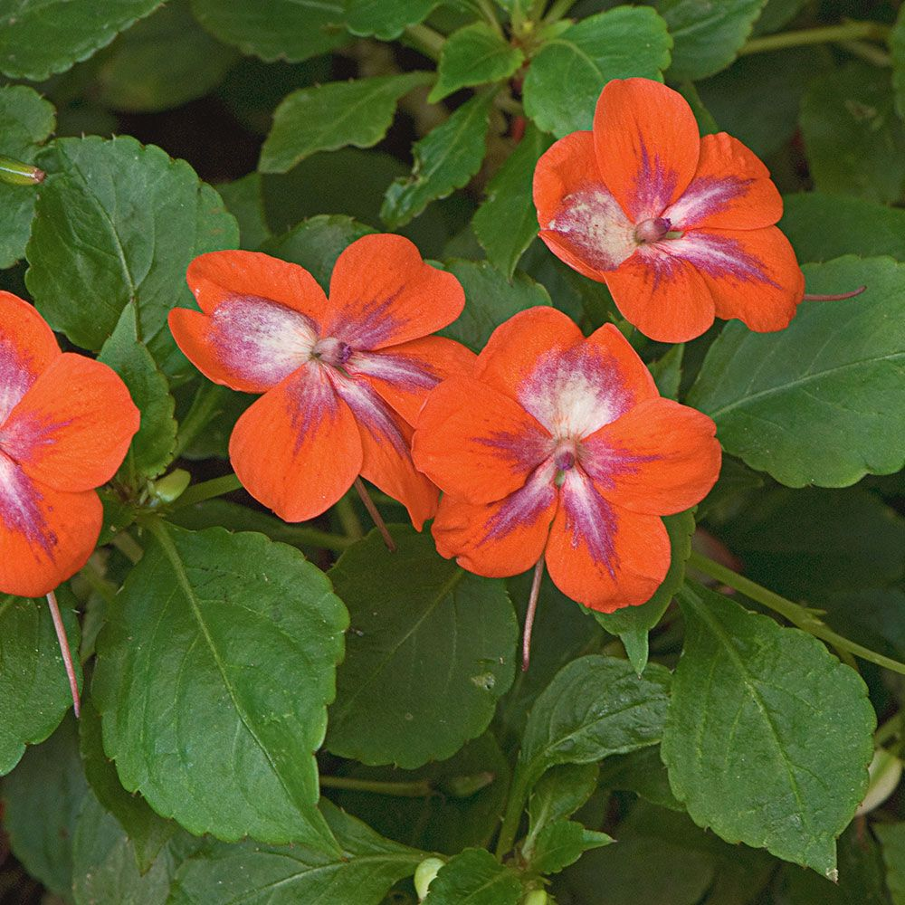 Impatiens Patchwork™ Cosmic Orange
