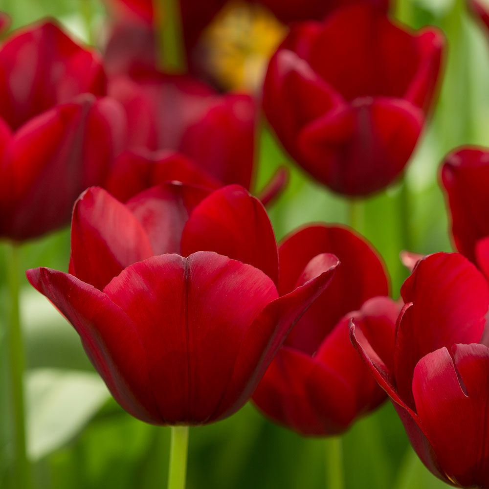 Tulip 'National Velvet'