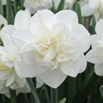 Narcissus 'Androcles'