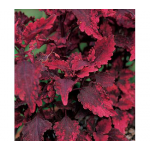 Coleus 'Tobasco'