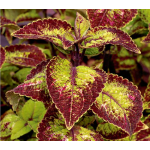 Coleus Mt. Washington