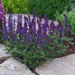 Salvia nemorosa New Dimension™ Blue