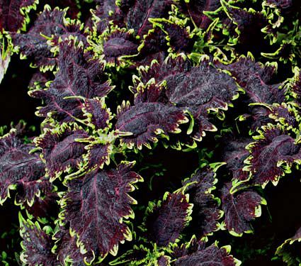 Coleus black magic white flower farm - Back to the roots water garden review ...