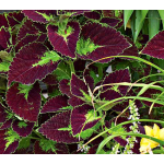 Coleus 'Dipt in Wine'