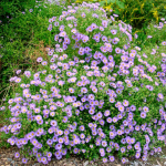 Symphyotrichum oblongifolium 'October Skies'