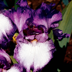 Iris germanica 'Mariposa Autumn' - Reblooming