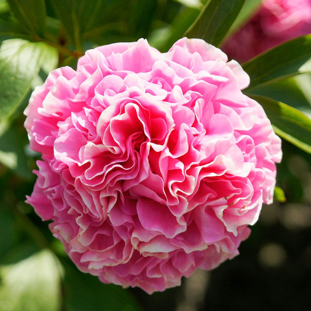Peony 'Carnation Bouquet'