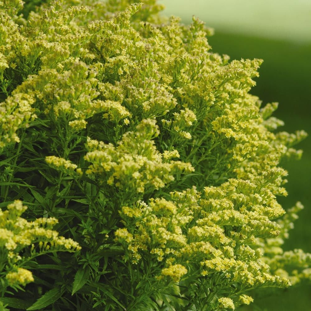 Solidago Little Lemon®
