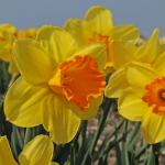 Narcissus 'Reed Wadsworth'