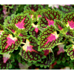 Coleus Strawberry Drop