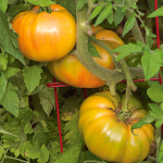 Tomato 'Gold Medal Yellow'