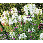 Cleome hassleriana 'White Queen'