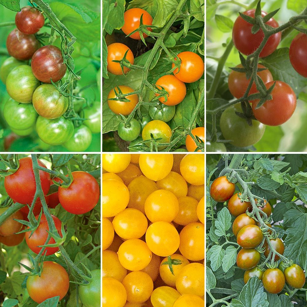 Kaleidoscope Cherry Tomato Collection - Standard Shipping Included
