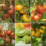 Festival Heirloom Tomato Collection - Standard Shipping Included