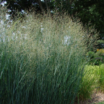 Ornamental Grass: Panicum virgatum 'Heavy metal'