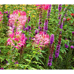 Cleome hassleriana Rose Queen