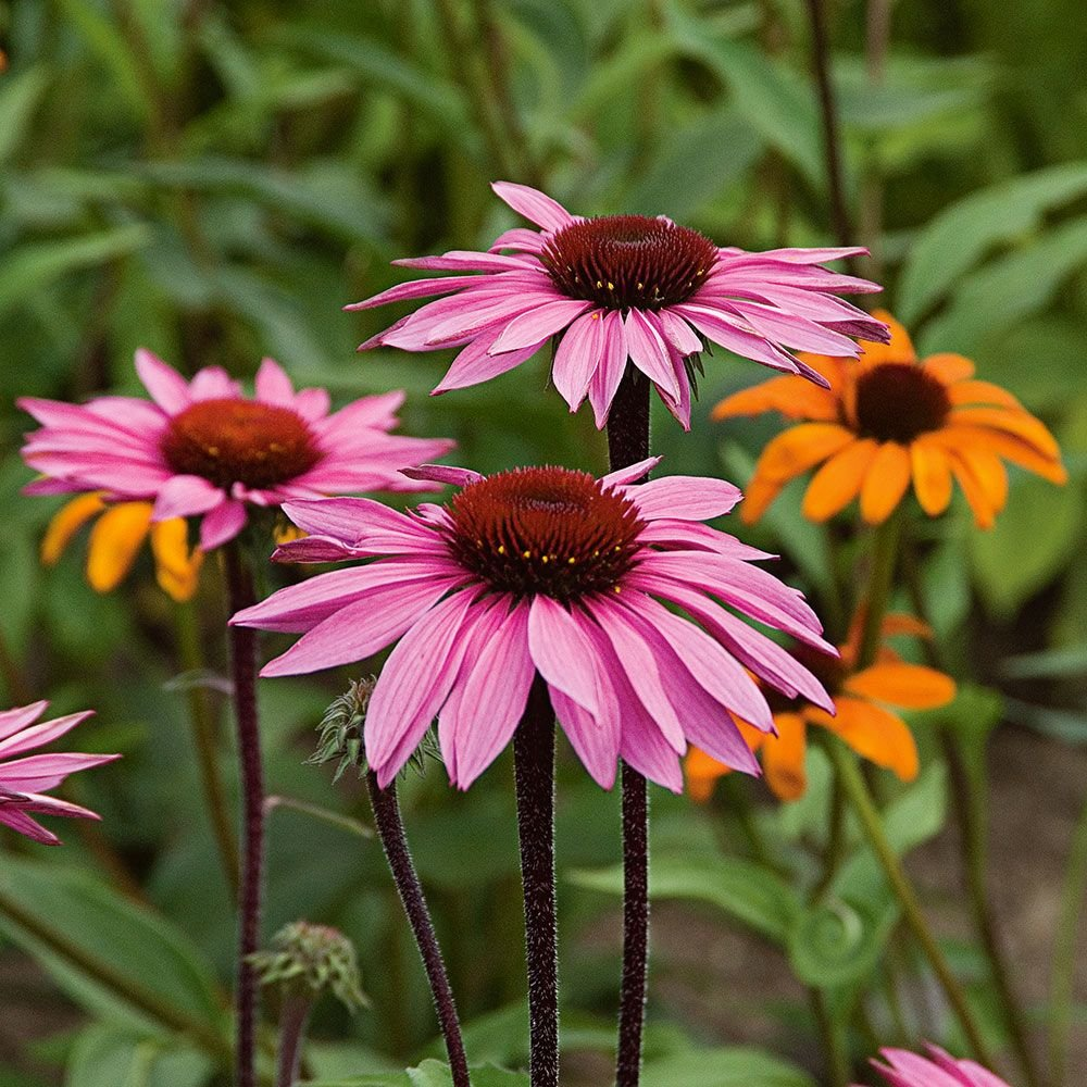 Echinacea purpurea Merlot | White Flower Farm
