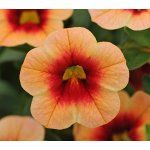 Calibrachoa Can-Can® Peach