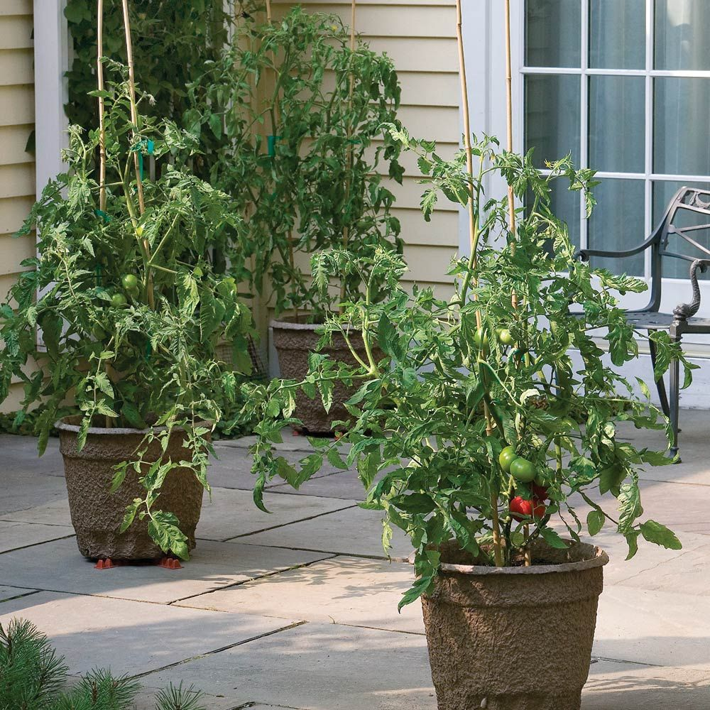Patio Tomato Collection