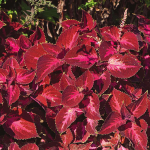 Coleus ColorBlaze® Kingswood Torch