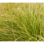 Ornamental Grass: Carex testacea