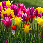 Vivid Blooms Tulip Mix