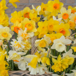 Narcissus Heirloom Mix