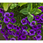 Calibrachoa Callie® Dark Blue