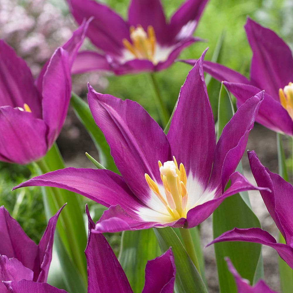 Tulip 'Purple Dream'