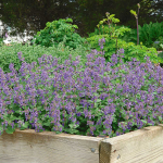 Nepeta 'Early Bird'