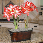 Amaryllis 'Splash,' two nursery pots in a metal cachepot