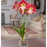 Amaryllis 'Flamenco Queen,' one bulb with hurricane vase kit